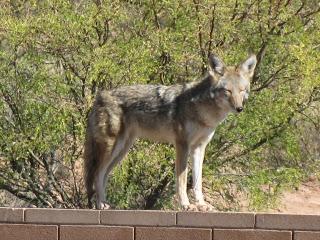 Coyote, Nov 5 2013 025